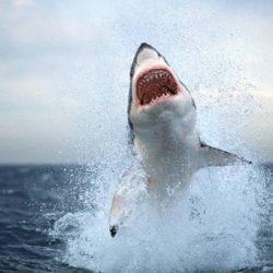 Λευκός Καρχαρίας: Απαθανατίζοντας την υπεροχή του