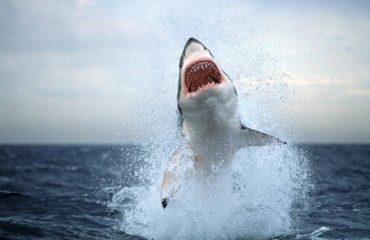 καρχαρίες βασιλιάδες που χρονολογούνται από τις εμπορικές