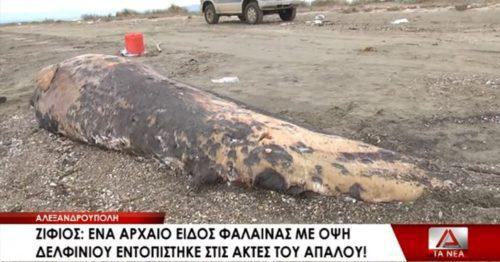 Αρχαίο είδος φάλαινας ξεβράστηκε στην Αλεξανδρούπολη