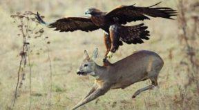 Απίστευτο Video!!! Αετός κυνηγάει αγριοκάτσικα