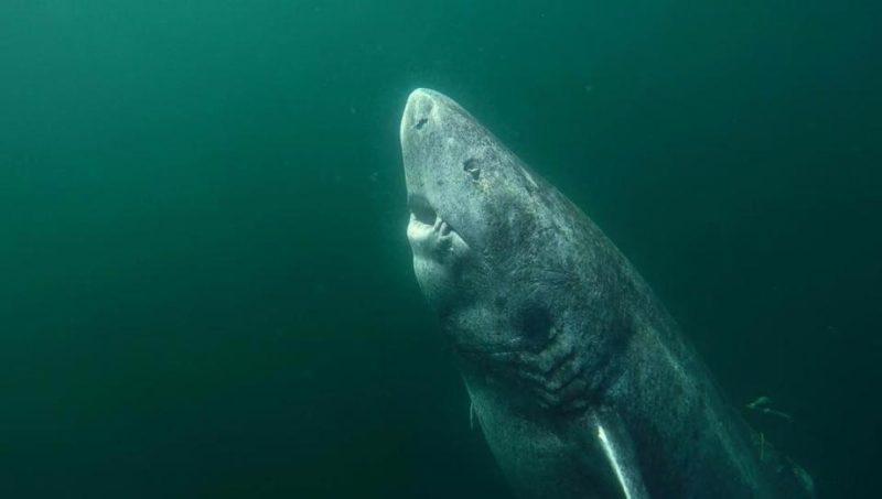 Ψάρεψαν καρχαρία 512 ετών – Το γηραιότερο εν ζωή πλάσμα στον κόσμο