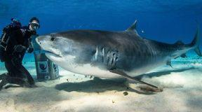 Δύτης τάισε έγκυο καρχαρία τίγρη με το… χέρι! (vid)