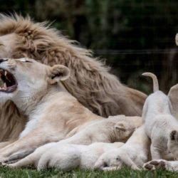 Νότια Αφρική: Λαθροκυνηγοί δηλητηρίασαν και τεμάχισαν σπάνιο λευκό λιοντάρι