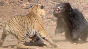 Απίστευτο θέαμα! Σπάνια μονομαχία τίγρη με αρκούδα