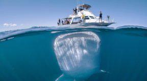 Κόβει την ανάσα το μεγαλύτερο ψάρι στον κόσμο