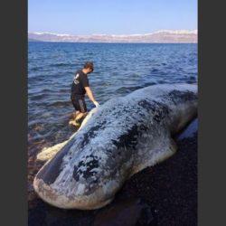 Ξεβράστηκε κουφάρι φάλαινας στη Σαντορίνη (pics & vid)