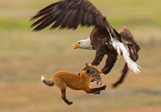 Ένας αετός και μια αλεπού παλεύουν στον αέρα για ένα λαγό