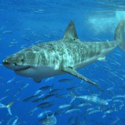 Στιγμές τρόμου για σέρφερ στην Αυστραλία- Πως αντέδρασε όταν κατάλαβε πως ένας λευκός καρχαρίας ήταν δίπλα του (ΦΩΤΟ-ΒΙΝΤΕΟ)