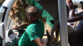 Λιοντάρι πηδάει μέσα σε αυτοκίνητο με τουρίστες