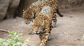 Αττικό Ζωολογικό Πάρκο: Σκότωσαν δύο τζάγκουαρ που δραπέτευσαν ενώ ήταν ανοιχτό για το κοινό!