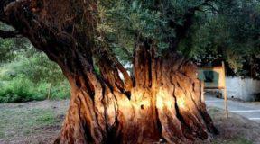 «Ευδοκία»: Η 1100 χρονών ελιά στην Κέρκυρα. Ενα από τα αρχαιότερα ελαιόδεντρα του κόσμου
