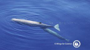 Φάλαινα φυσητήρας θηλάζει το μικρό της στο Αιγαίο