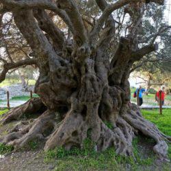 Η αρχαία ελιά του Καβουσίου στην Κρήτη....φυτεύτηκε πριν 3.250 χρόνια