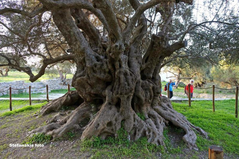 Η αρχαία ελιά του Καβουσίου στην Κρήτη….φυτεύτηκε πριν 3.250 χρόνια