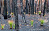 ΑΥΣΤΡΑΛΙΑ: Εκπληκτικές Φωτογραφίες Δείχνουν την Αναγέννηση των Φυτών σε Καμένο Δάσος